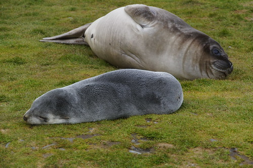 429 Zeebeer en zeeolifant