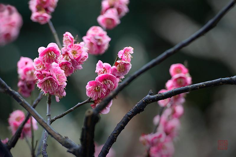 9的花瓣虽因水份有点下垂,但湿溽溽的树枝拍出来还是频有质感.