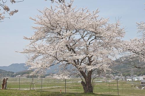 【写真】桜 : 和らぎの道
