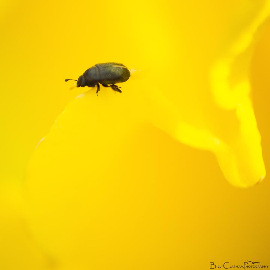 billy clapham photography pollen beetle macro insect