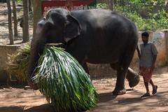 Słonie z deserem wracają do zagrody