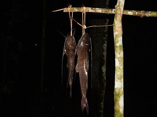Catfish - Madidi NP - Bolivia