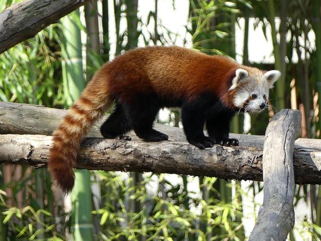 Roter Panda, Zoo Mulhouse