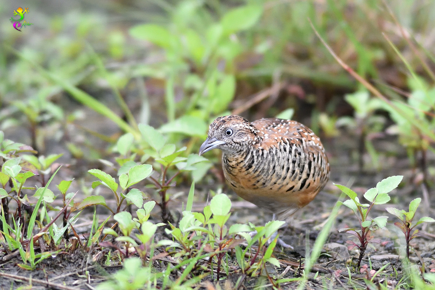 Barred_Buttonquail_9220
