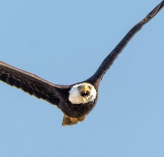 Mad Bald Eagle
