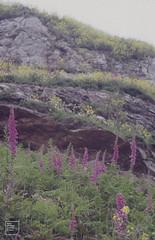 Foxglove, bracken and Lundy cabbage on shale, 2005