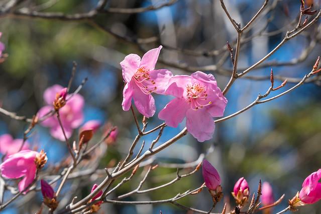 小持山の山頂で咲き始めたアカヤシオツツジ