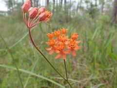 Fewflower Milkweed, Asclepias lanceolata