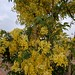 Indian Laburnum or the Golden shower. (Kakke in Kannada).