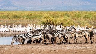 Zebras and Pelicans, Lake Manyara National Park, Tanzania