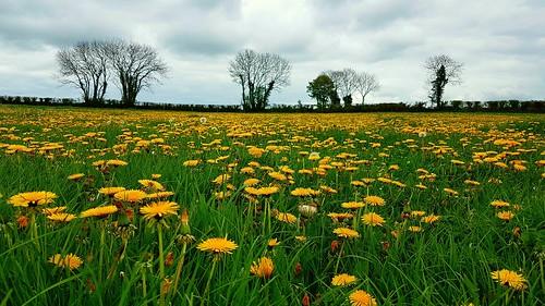 Dandelion meadow.