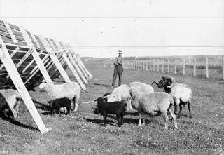 Karakul sheep and lambs on Bunberry Farm, in Charlottetown, Prince Edward Island / Moutons et agneaux caracul à la ferme Bunberry, Charlottetown (Île-du-Prince-Édouard)