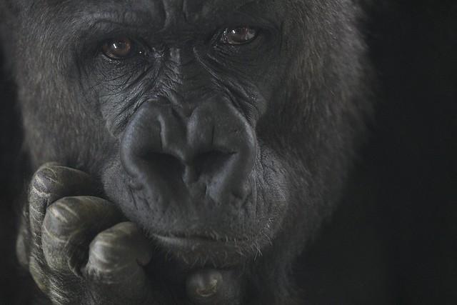 Western Lowland Gorilla, Nikon D500, AF-S Nikkor 200mm f/2G ED VR II