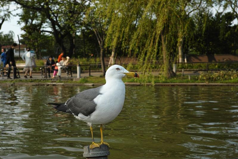 A Gull / かもめ