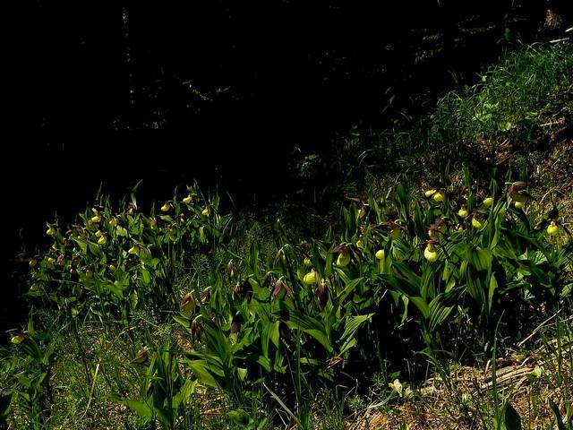Cypripedium calceolus=Sabot de Venus (10)
