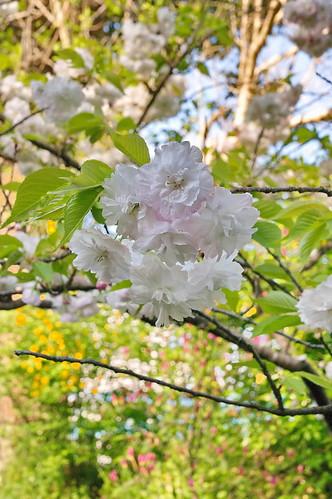 【写真】2013 桜 : 梅宮大社/2019-06-14/IMGP0201
