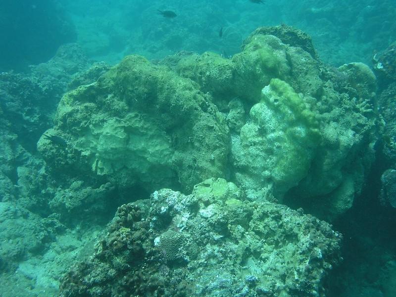 莫拉克颱風後萬里桐潮下帶被大量翻覆且已經死亡的微孔珊瑚