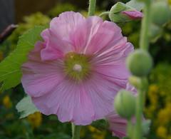 geranium cinereum(0.0), malva(0.0), wildflower(0.0), pink evening primrose(0.0), annual plant(1.0), flower(1.0), pinkladies(1.0), plant(1.0), macro photography(1.0), flora(1.0), petal(1.0),