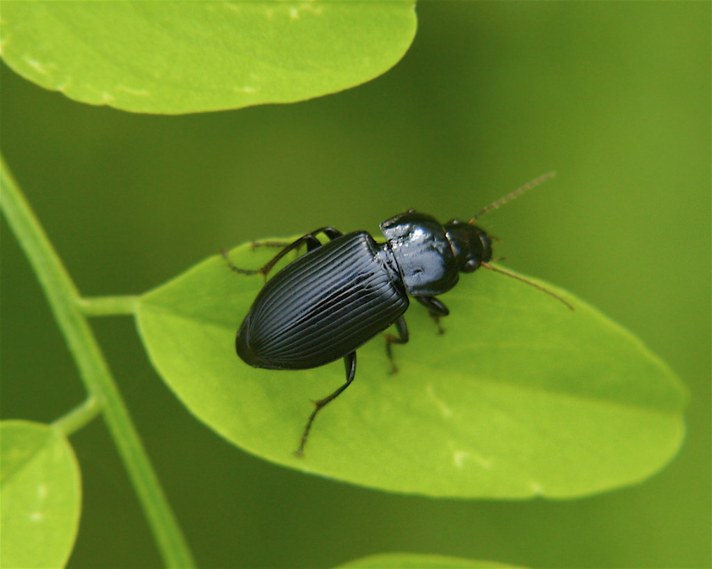 Anisodactylus Ground Beetle