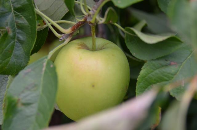 AppleTree4
