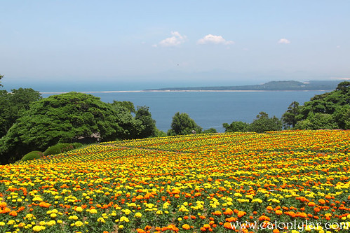 Marigold, Nokonoshima Island Park, Fukuoka