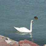 Swan on Lake Balaton
