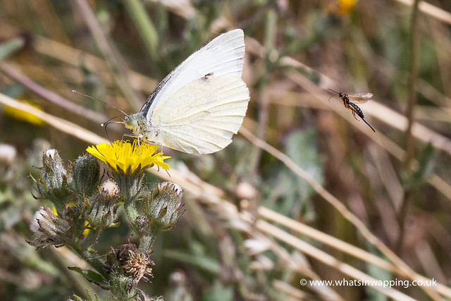 Cabbage White butterfly sits on a dandelion and a fly approaches from behind
