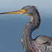 Tricolored Heron - 2nd Place - Altered-Composite - Hector Astorga