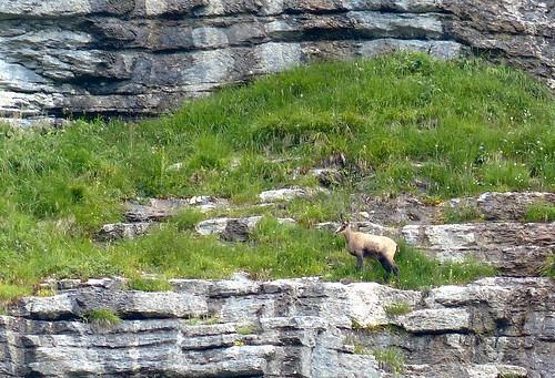 An elusive and shy chamois watches over us