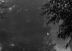 Dedham swan B&W