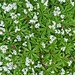 Small photo of Sweet Woodruff, up Close