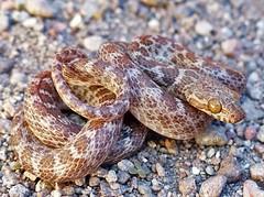 Eridiphas slevini