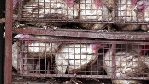 זוגלובק - תרנגולים מתבוססים בצואה