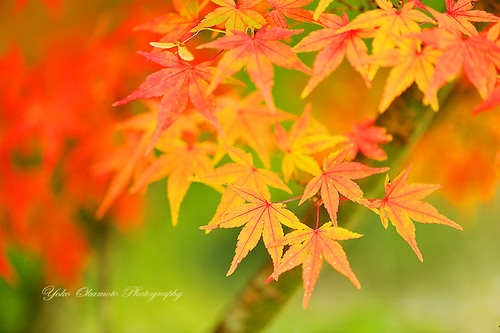 紅葉   Colored leaves