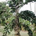 Small photo of Aiphanes horrida, the Coyure Palm