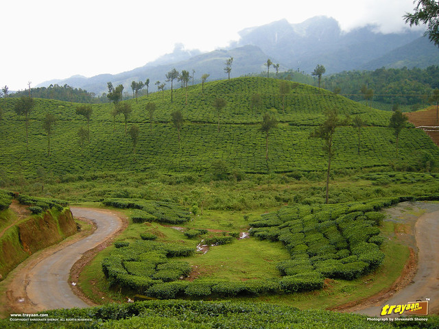 Tea Plantations by the road to Soochipara Waterfalls, also known as Soochipura Waterfalls, Vellarimala, Wayanad, Kerala, India