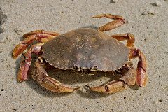 ocypodidae(0.0), homarus(0.0), food(0.0), chesapeake blue crab(0.0), american lobster(0.0), crab(1.0), animal(1.0), freshwater crab(1.0), shellfish(1.0), crustacean(1.0), seafood(1.0), invertebrate(1.0), dungeness crab(1.0), fauna(1.0),