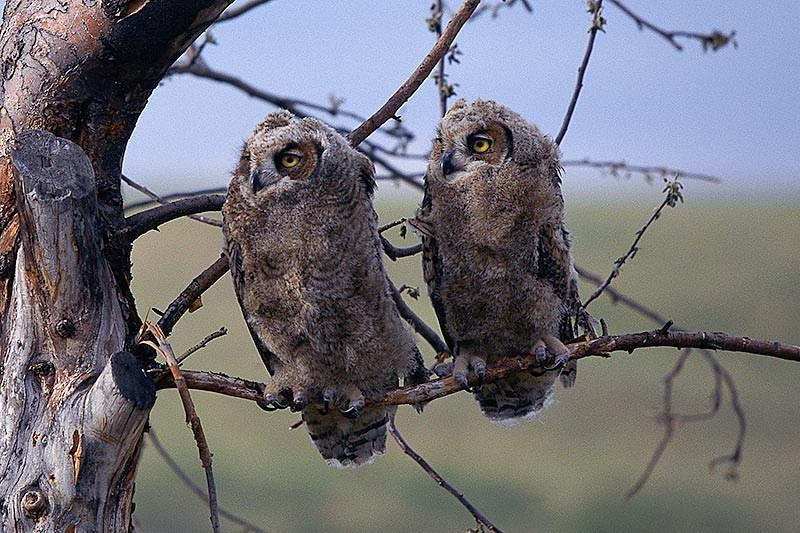 Wildlife in British Columbia, Canada: Great Horned Owl