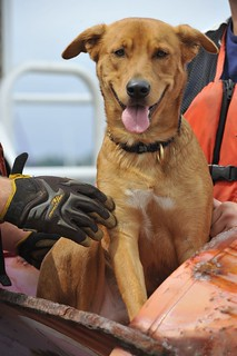 The Coast Guard's Aids to Navigation team in Bristol, R.I., rescued a 2-year-old Labrador from the Potter League for Animals shelter in Middletown, R.I., Aug. 21, 2013.  Wrangel is the crew member's new station mascot. (U.S. Coast Guard photo by Petty Officer Third Class Amber Mitchell)