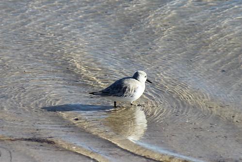 IMG_3862_Shore_Birds