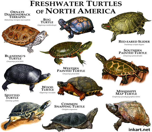 Freshwater Turtles of North America Flickr - Photo Sharing!