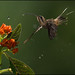 Long-billed Hermit (Phaethornis longirostris) feeding from flowers in the rain by Chris Jimenez Nature Photo