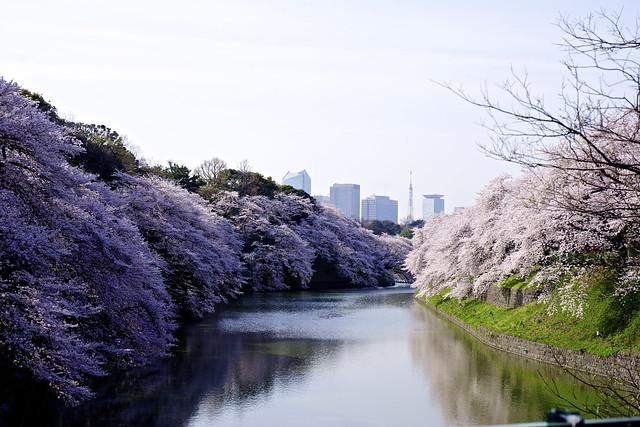 Cherry at Chidorigafuchi with Tokyo tower.