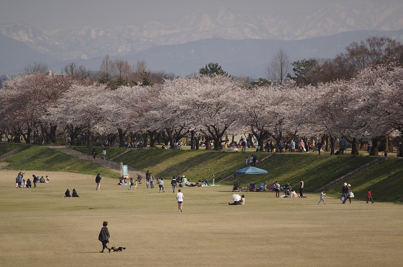 金沢桜満開! その1 犀川の桜