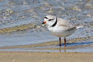 Piping plovers are back
