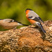 Bullfinch.Male & Female