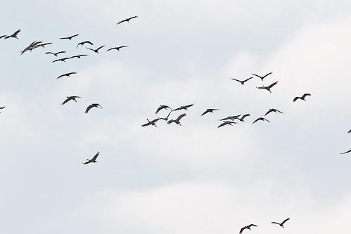antigonecanadensis bird birds crane sandhill sandhillcrane migration sky sweetwaterwetlands park alachuacounty fl florida gainesville