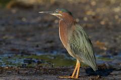 Green Heron, Green Key (Robert K. Rees Park)