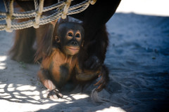 Orangutan Baby Playing with Sand