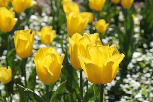 Sherwood Gardens ~ Yellow Tulips